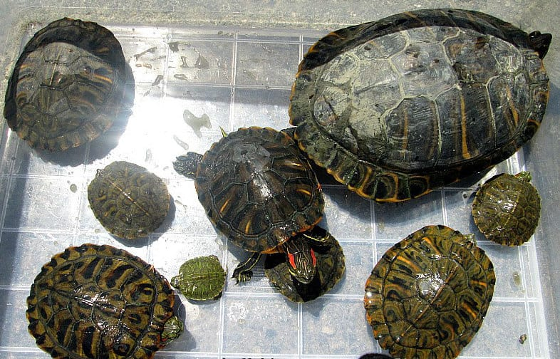 red-eared slider turtles